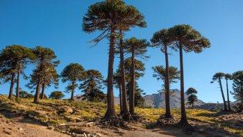 El Pehuén o Araucaria puede tener más de 1.000 años y medir hasta 50 metros de altura.