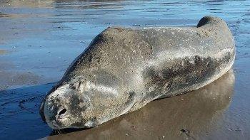 una foca leopardo visito rada tilly ¿que recaudos hay que tener?