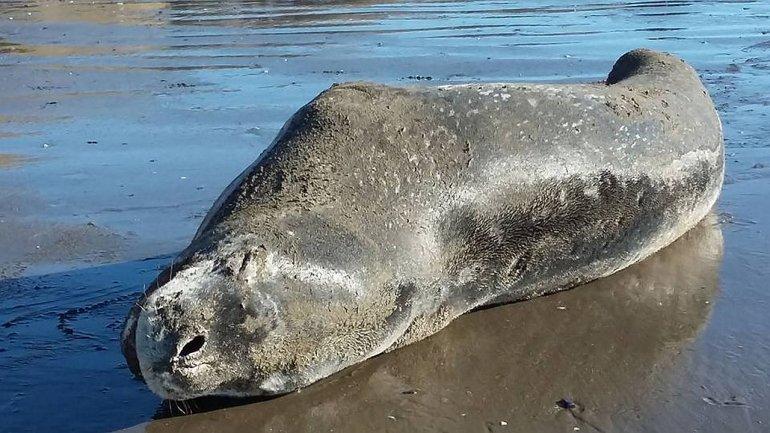 Una foca leopardo visitó Rada Tilly ¿Qué recaudos hay que tener?