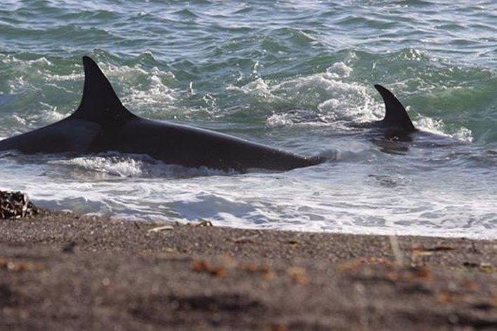 Cinco orcas fueron bautizadas con nombres galeses y tehuelches