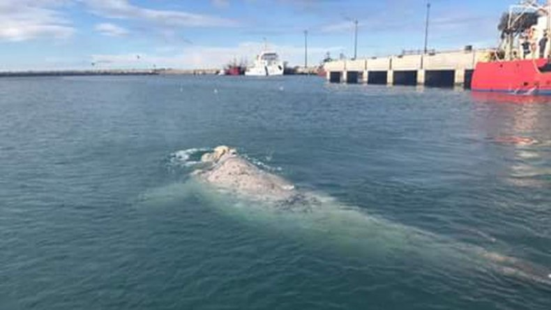 Una ballena blanca visitó el puerto de Comodoro