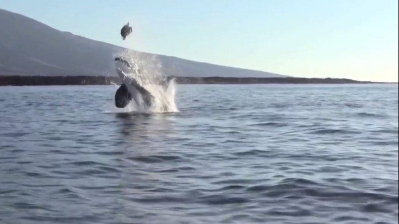 Una orca hizo volar a tortuga para comerla
