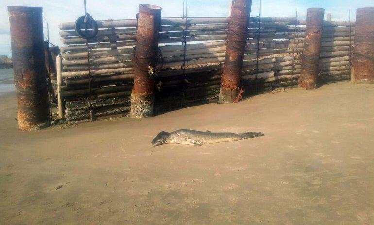 Peligro: una foca leopardo en la Costanera