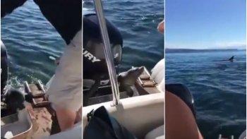 una foca se subio a una lancha para salvarse de dos orcas