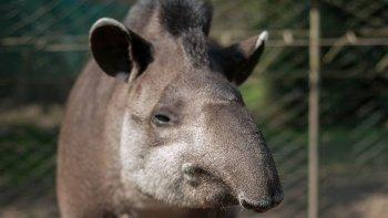 Murió uno de los tapires más viejos del mundo