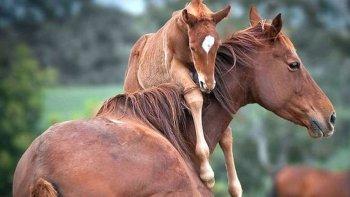 Recomiendan consumir carne de caballo en el país