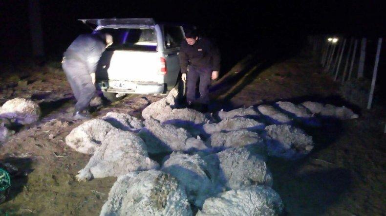 Los diecinueve ovinos eran transportados en una Chevrolet S-10.