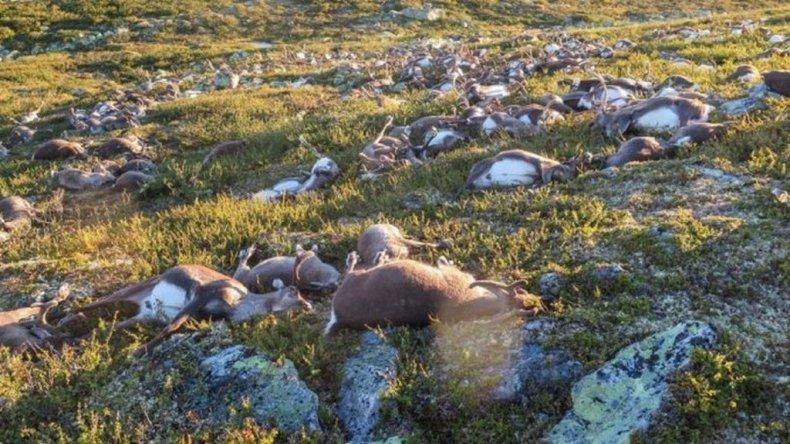 Un rayo mató a más de 300 renos en Noruega
