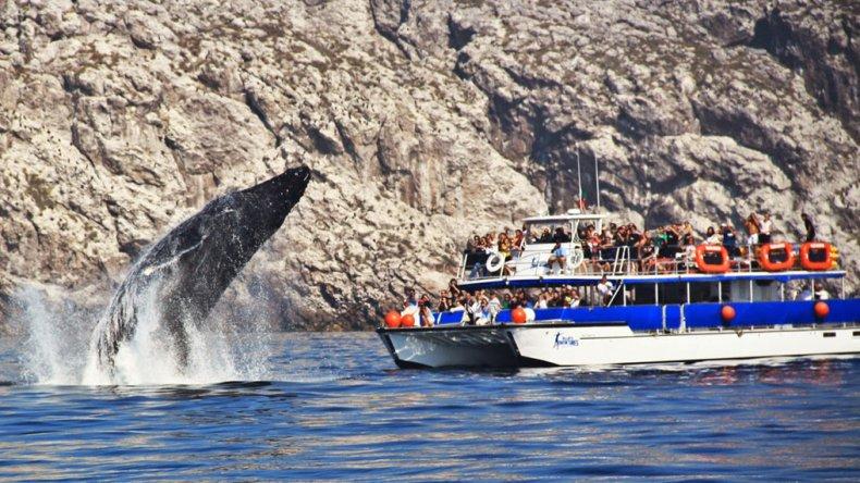 La zona ocupa un papel preponderante durante los procesos reproductivos de poblaciones de especies en peligro como la ballena jorobada o la tortuga golfina.