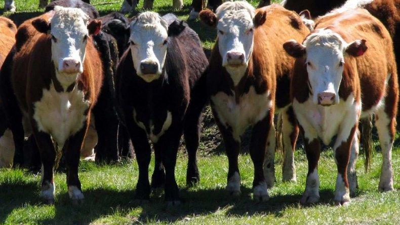 Chile quiere comprar vacas patagónicas para hacer hamburguesas