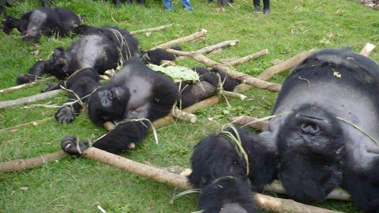 Estos simios están al borde la extinción