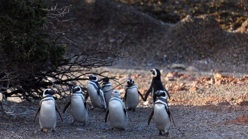 El 16 de septiembre se inaugura la temporada de pingüinos en Punta Tombo