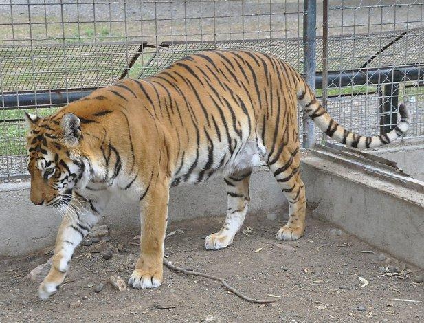 El Cabezón Ruggeri era uno de los tres tigres de Bengala que vivía en el Zoológico de Rawson. Falleció debido a causas naturales.