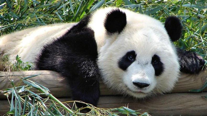 El panda gigante ya no está en peligro de extinción