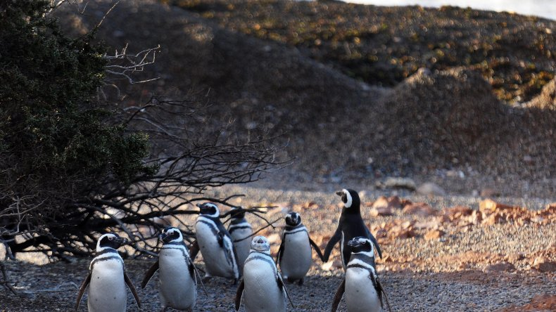 Llegan los primeros pingüinos a Punta Tombo y Cabo Dos Bahía