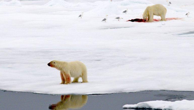 Diez osos polares cercan a científicos rusos en una remota isla ártica