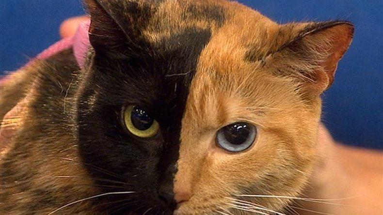 El misterio de la gata bicolor