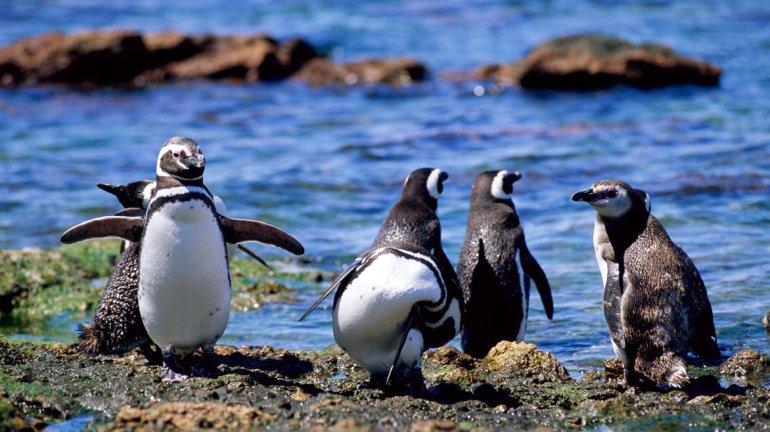 Hace pocos días comenzaron a llegar los primeros pingüinos a la zona