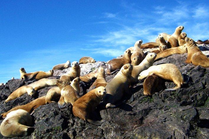 En varios lugares de la costa se puede disfrutar de los lobos marinos.
