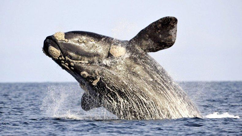 Sin dudas el mayor atractivo lo brinda el espectáculo que protagoniza la ballena austral.