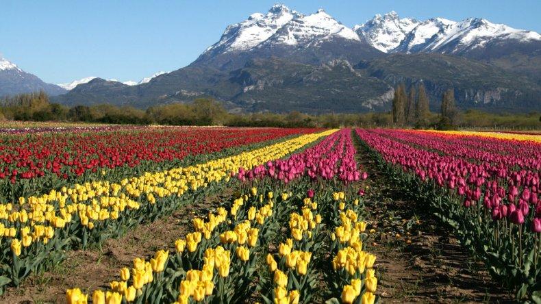 Hasta el 15 de noviembre hay tiempo para contemplar la floración de los tulipanes de Trevelin.