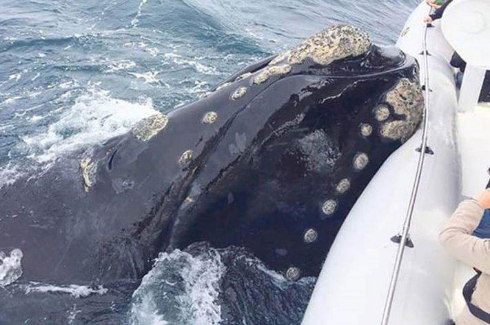 La ballena que buscó refugiarse arriba de la embarcación.