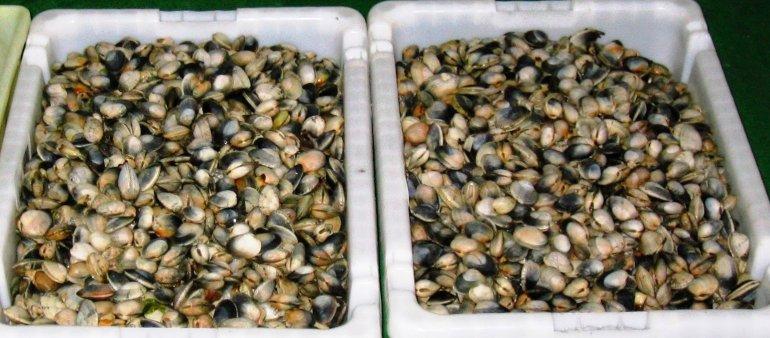 Veda total para extracción de moluscos bivalvos