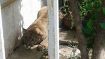un puma causo panico en un barrio de cordoba
