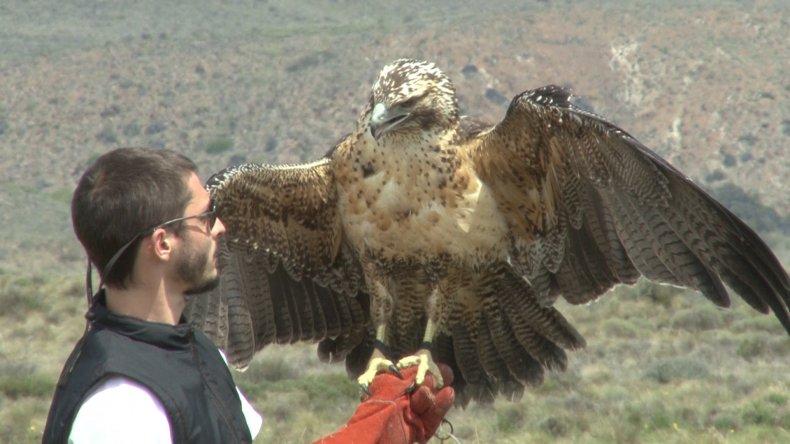 Liberaron un águila mora en el Parque Nahuel Huapi
