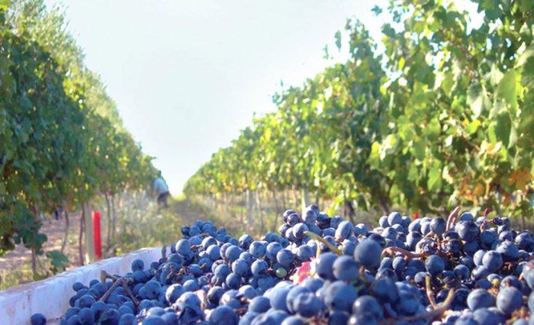 Neuquén es uno de los nuevos polos vitivinícolas de la Patagonia con sus bodegas en San Patricio del Chañar y Añelo.