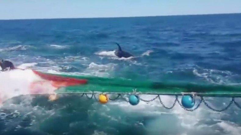 Un lobo marino se subió a una red de pesca para salvar su vida