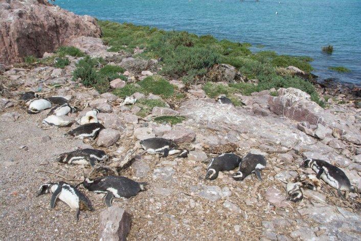 Aparecieron 370 pingüinos muertos por el ataque de perros