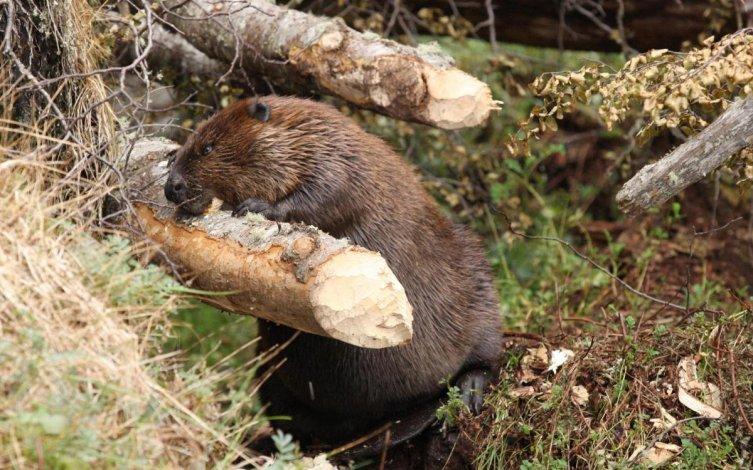 En 1946 trajeron 20 castores de Canadá.