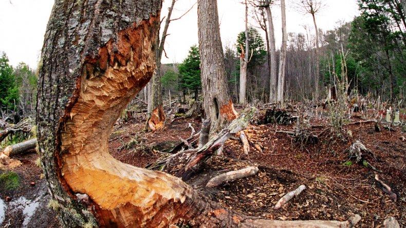 El castor roe el árbol hasta que lo derriba, luego lo troza y lo usa para alimentarse y para construir su madriguera.
