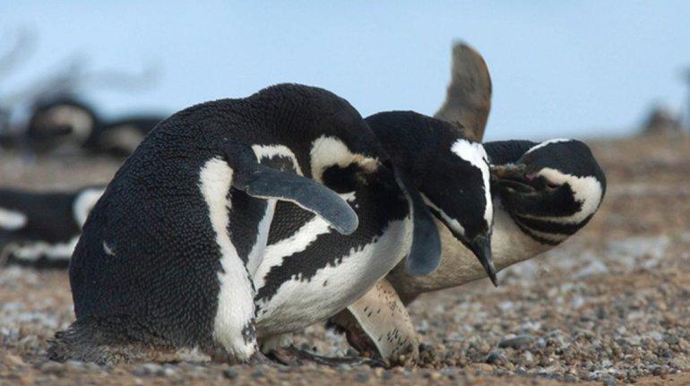 Trabajo sobre pingüinos en Chubut saldrá en la BBC de Londres