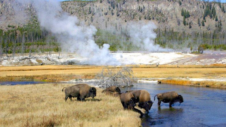Los bisontes son el símbolo viviente de Yellowstone y del país.