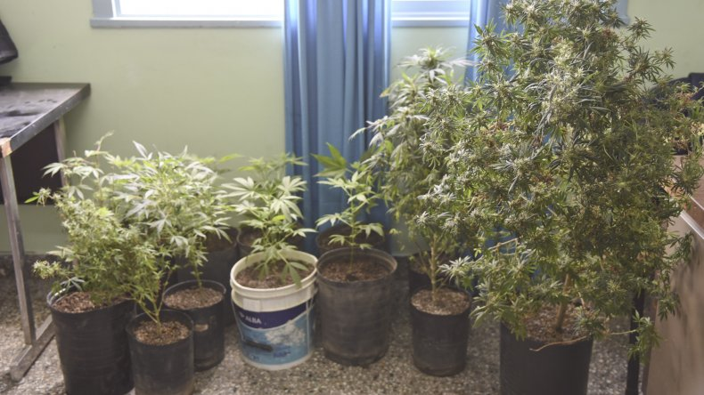 Fueron por un  supuesto secuestro  y  encontraron 13 plantas de marihuana