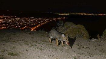 La presencia de zorros forma parte de la vida cotidiana en los nuevos terrenos, lindantes a los cerros de Rada Tilly.