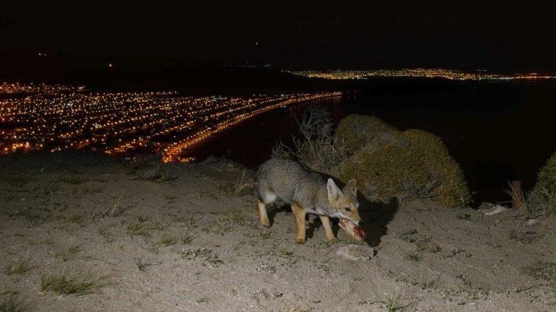 La presencia de zorros forma parte de la vida cotidiana en los nuevos terrenos