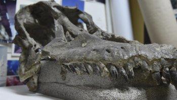 Luego de años de estudios, la cabeza del titanosaurio Sarmientosaurus musacchioi se encuentra en la oficina del investigador Rubén Darío Martínez.