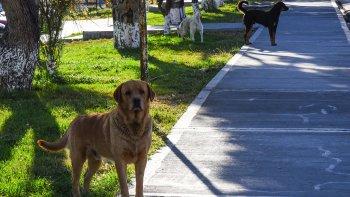 Perros sueltos en barrios de Comodoro. Una constante que implica un peligro latente, tanto para seres humanos como para otros animales cuyos propietarios sí aplican la tenencia responsable.
