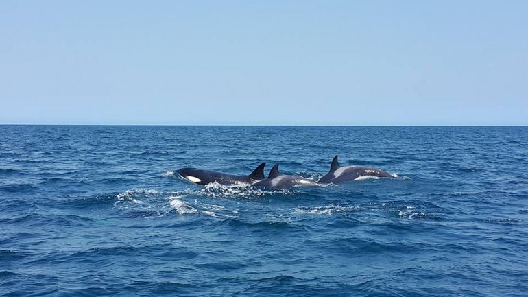 Una manada de orcas sorprendió a una familia