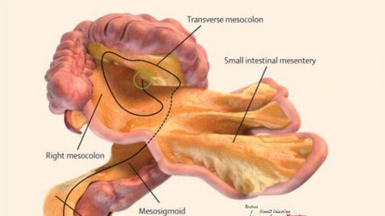 Posee una serie de pliegues dobles ubicados en el peritoneo, la membrana que recubre el intestino.
