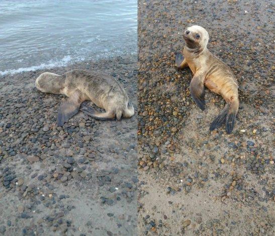 Un lobo marino lastimado quedó varado en la Costanera