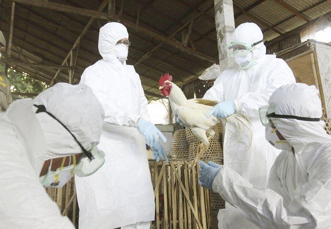 El Servicio Agrícola y Ganadero determinó el sacrificio de 350.000 aves afectadas y el aislamiento de la zona con el fin de evitar la diseminación de la enfermedad en los planteles avícolas.