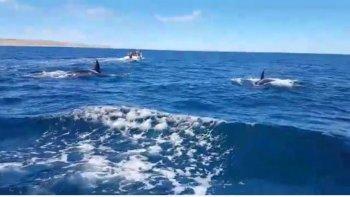 un grupo de orcas sorprendio en medio de un avistaje