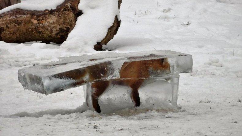 Encontraron un zorro congelado por la ola de frío en Europa
