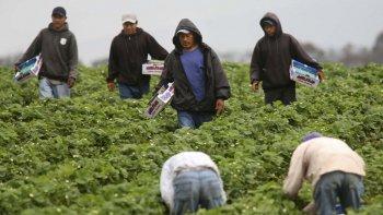 Los cosecheros mexicanos en los campos de California.