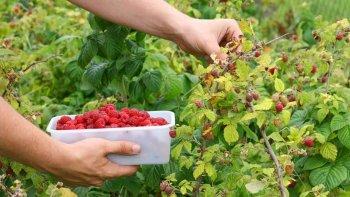 los productores de fruta fina solicitaron  incentivos para afrontar la crisis del sector