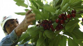 Los Antiguos se consolida como uno de los principales productores de cerezas en el país.